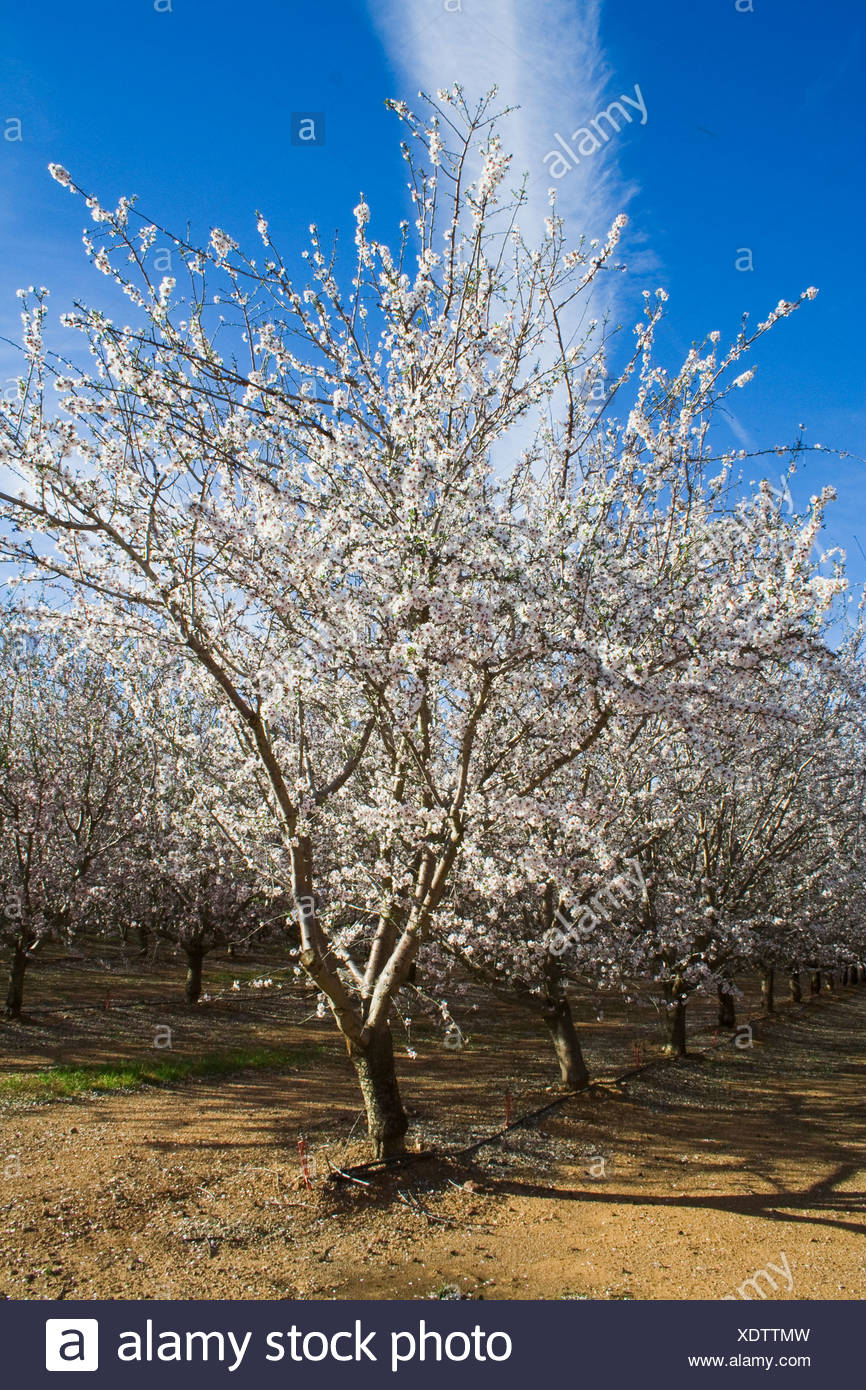 Agriculture - Almond tree in full bloom in late Winter / Glenn County, California, USA. - Stock Image