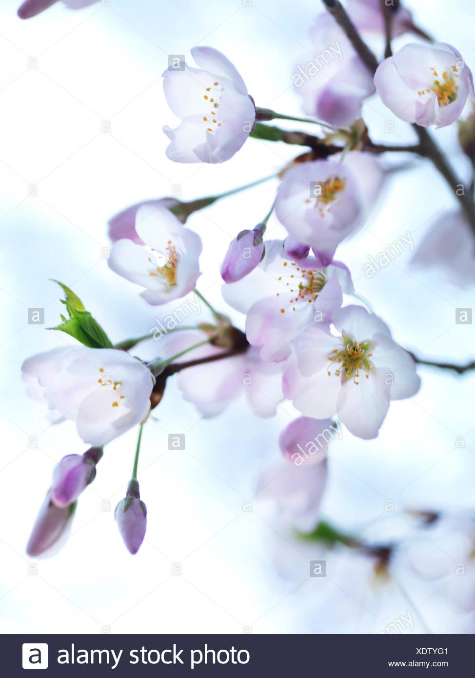 Japanese Sakura cherry blossoms, close-up - Stock Image