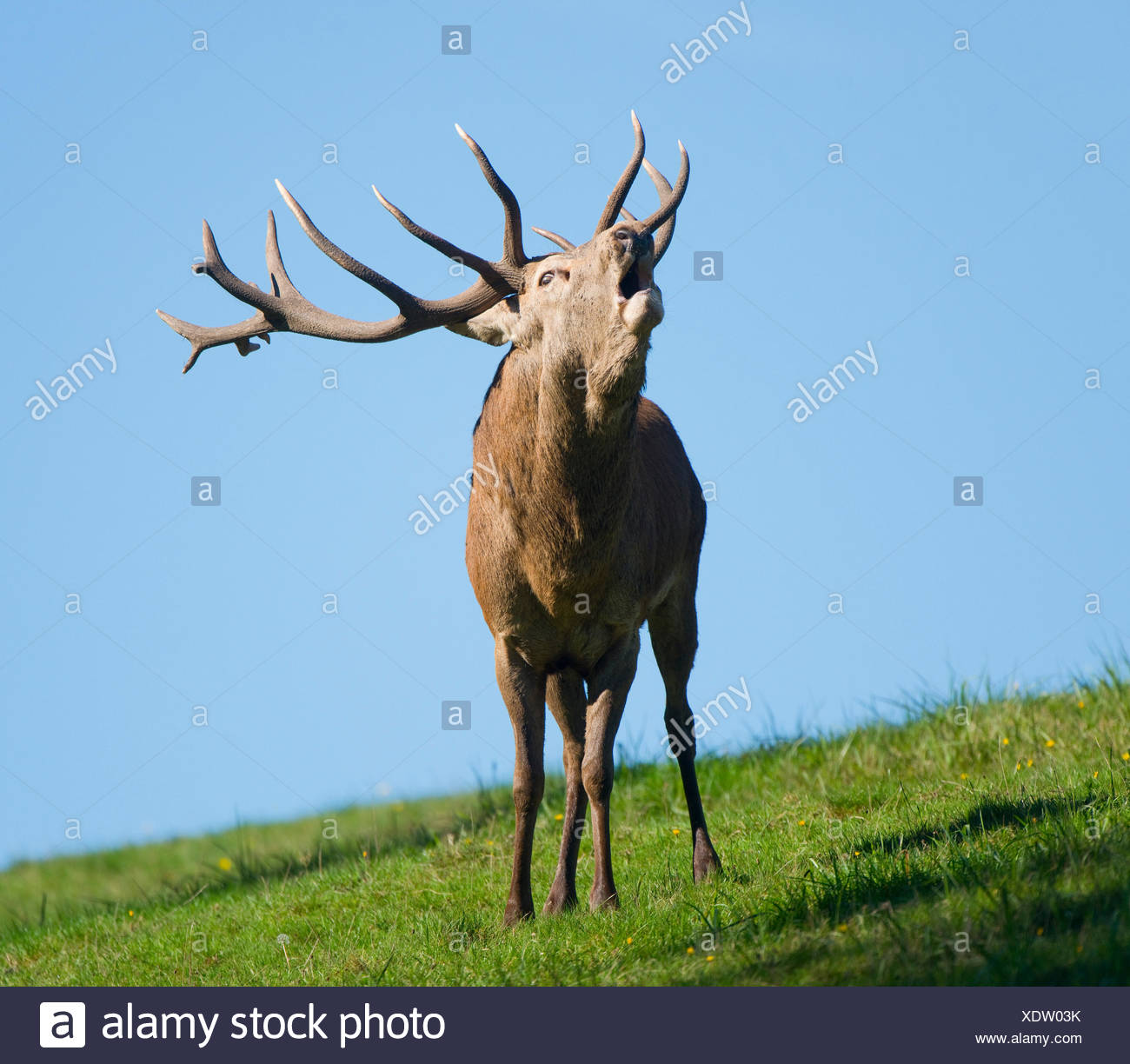 Red Deer (Cervus elaphus), stag, bellowing during the rut, captive, Lower Saxony, Germany - Stock Image