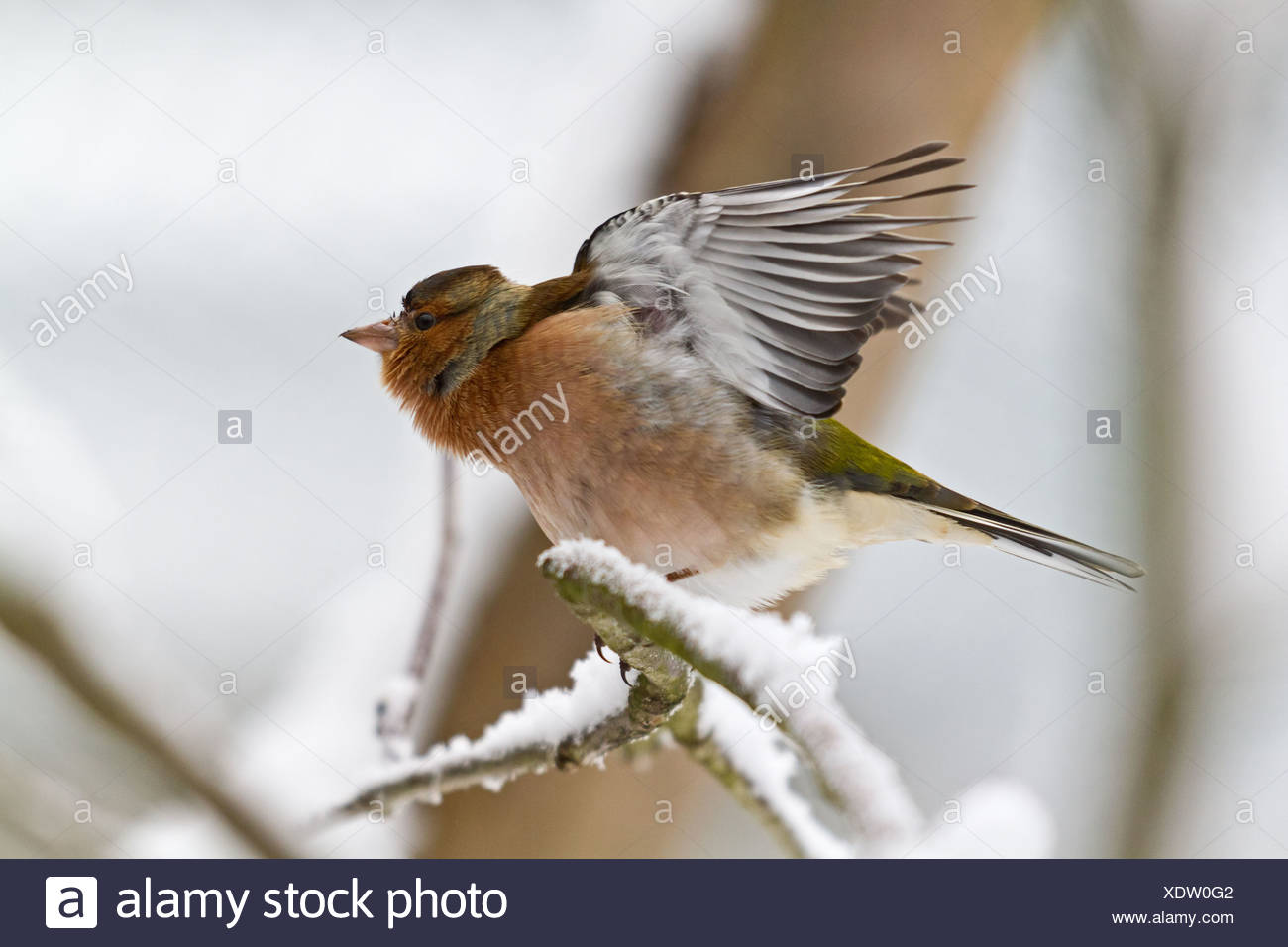 common chaffinch - Stock Image