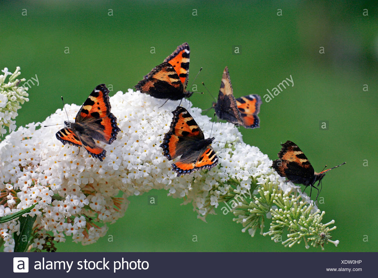 Butterflies - small tortoiseshells sitting on a flowering white butterfly bush (Aglais urticae) (Buddleja davidii cultivar Peac - Stock Image