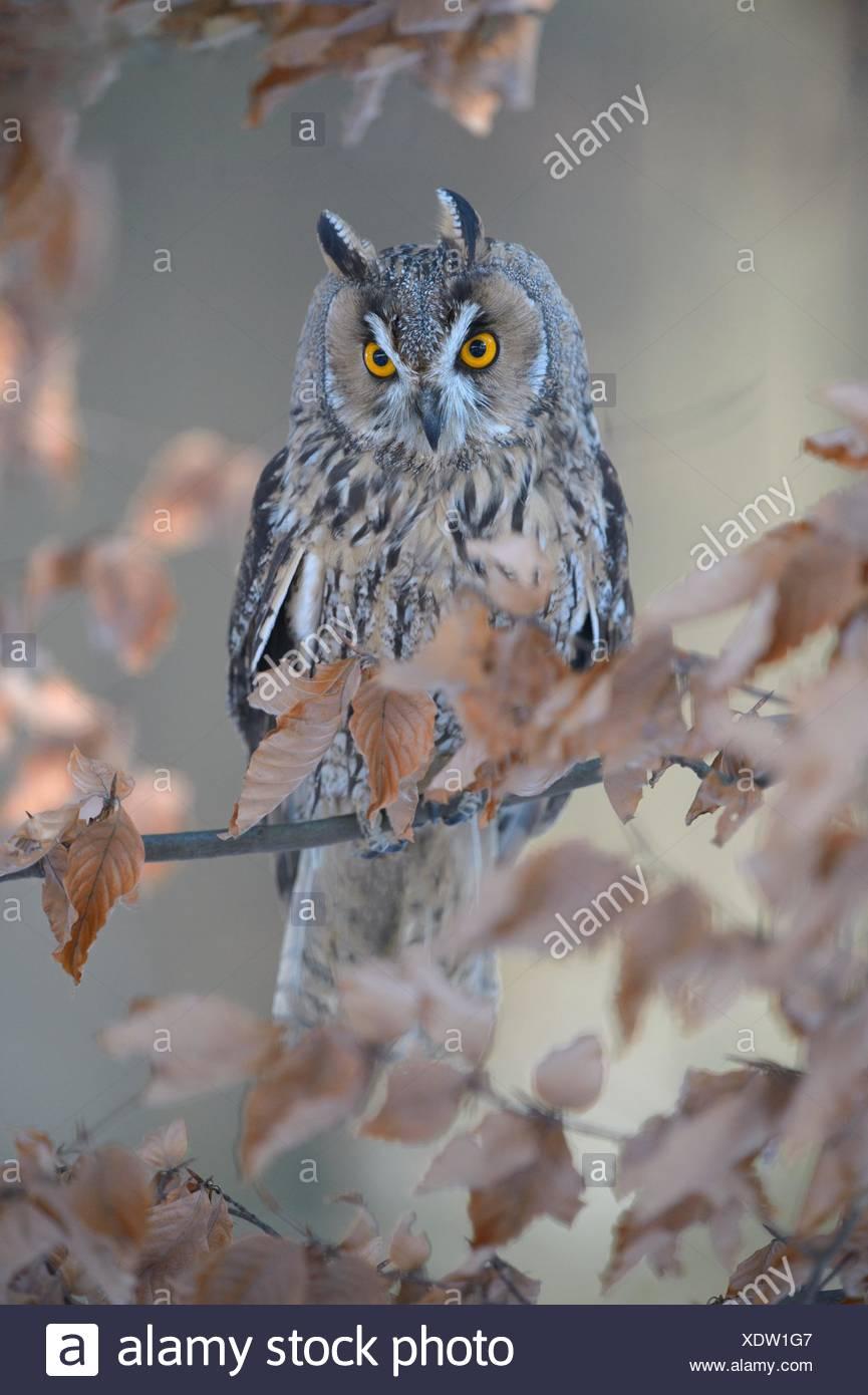 Long-eared owl (Asio otus) sitting on autumn coloured beech branch, Bohemian Forest, Czech Republic Stock Photo