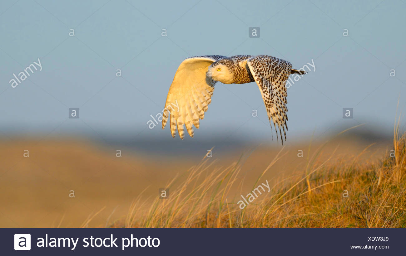 Snowy Owl (Strix scandiaca, Nyctea scandiaca, Bubo scandiacus), female flying over a dune in evening light, Netherlands - Stock Image