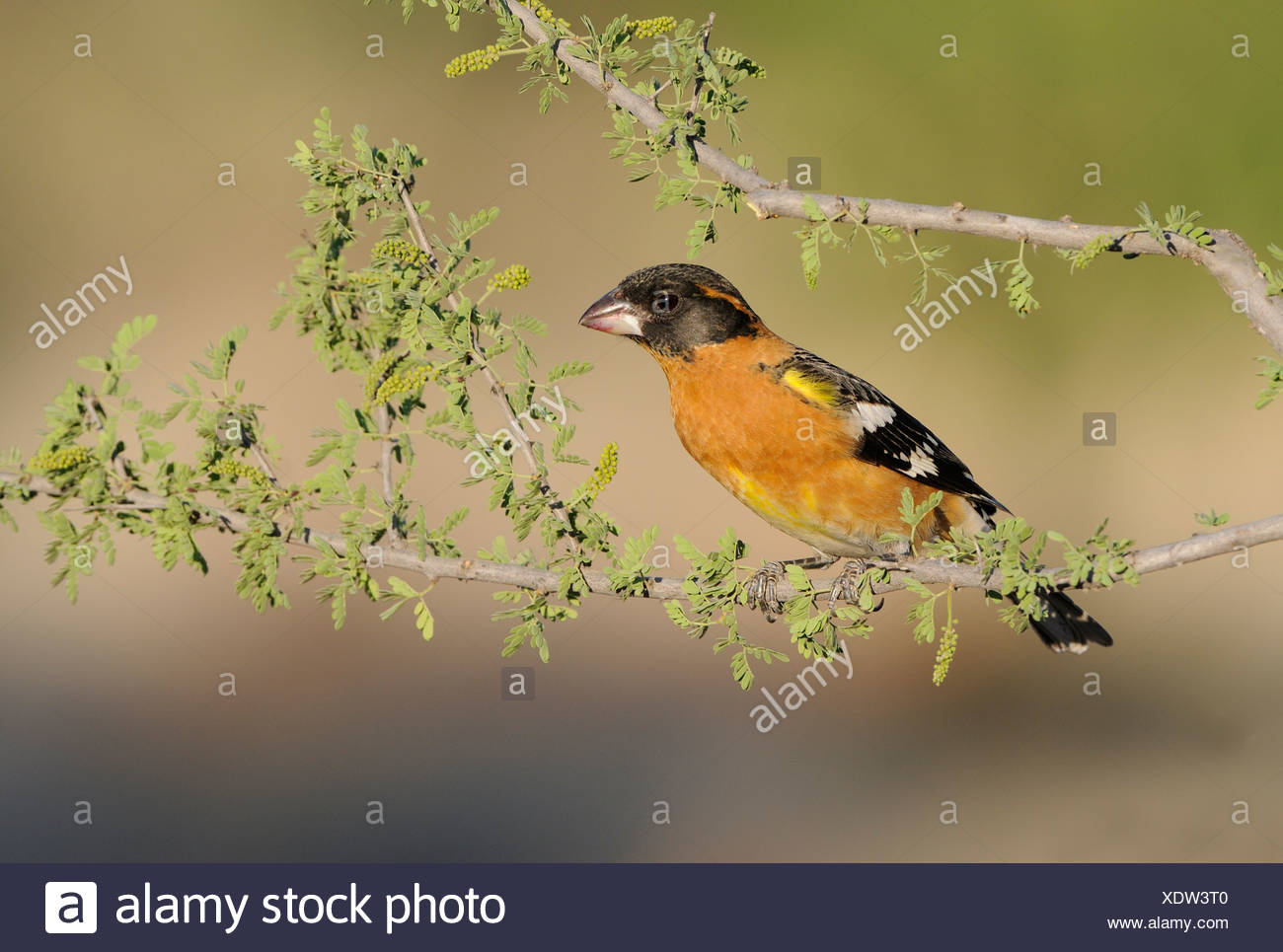 Male Black-headed Grosbeak (Pheucticus melanocephalus) at Elephant Head Pond, Green Valley, Arizona, USA - Stock Image