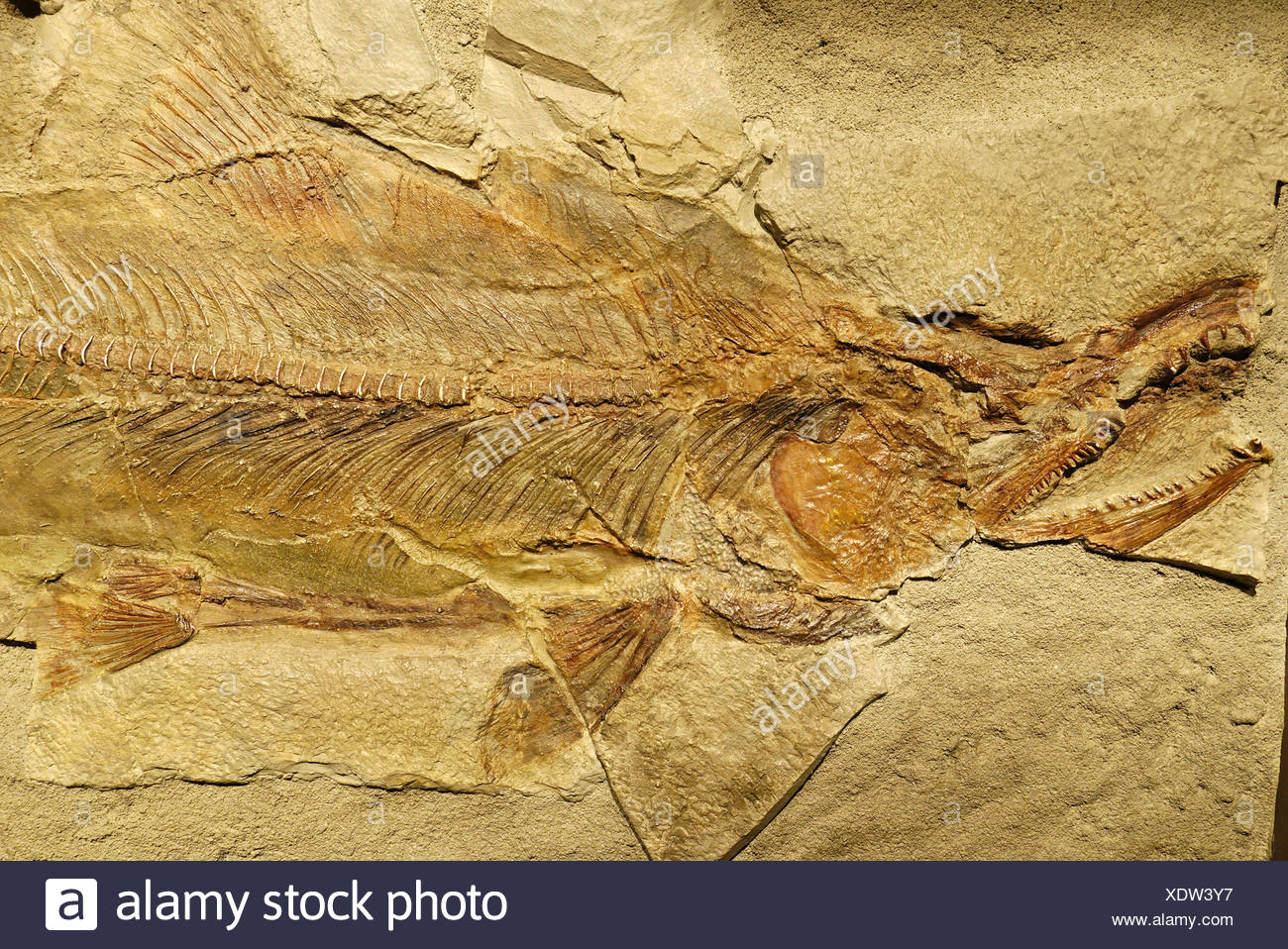 Primeval salmon, fossil or petrifaction - Stock Image