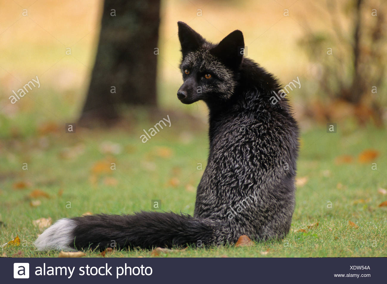 Red Fox (Vulpes vulpes) Adult (Silver phase) Regardless of the colour variations, all red foxes have a whitetipped tail. Falcon - Stock Image