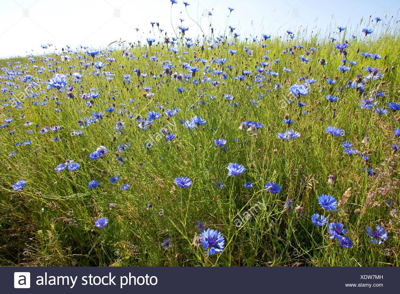 bachelor's button, bluebottle, cornflower (Centaurea cyanus), blooming at a field border, Germany Stock Photo