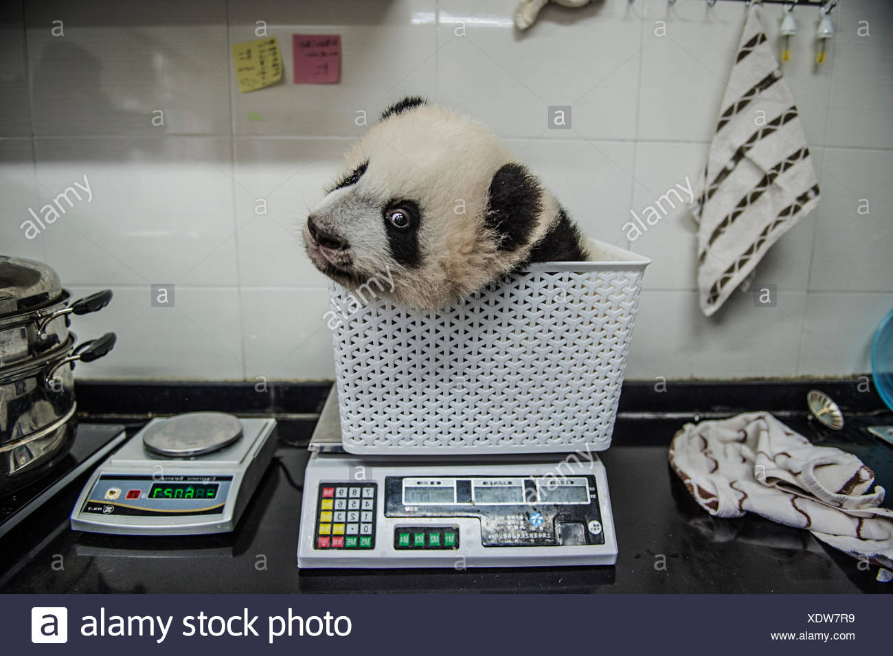 A giant panda cub gets weighed at Bifengxia Giant Panda Breeding and Research Center. Stock Photo
