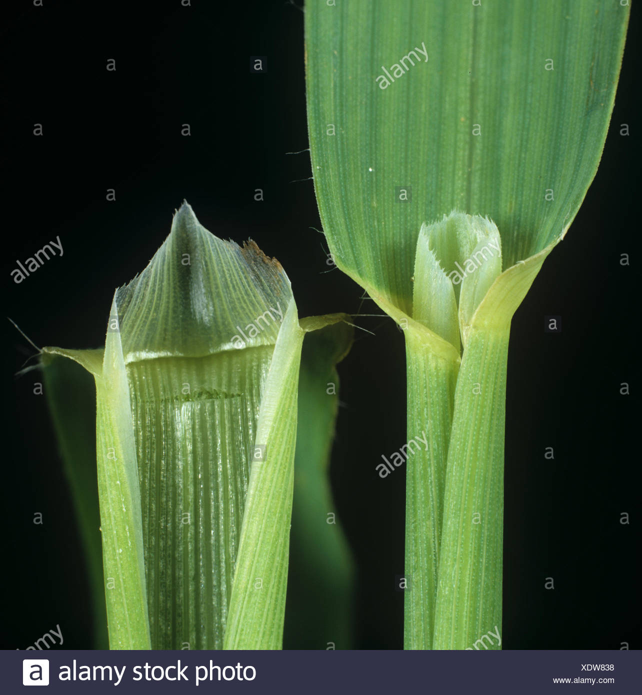 Wild oat, Avena fatua, leaf ligule of an agricultural grass weed Stock Photo