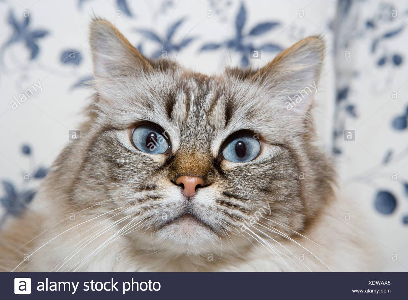 portrait of blue eyed cat - Stock Image