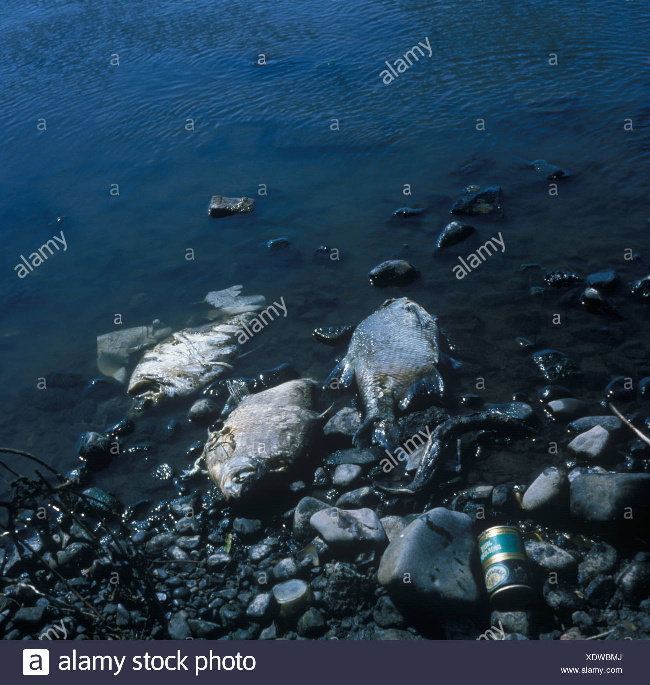 Pollution River Dead fish killed by Polluted river - Stock Image