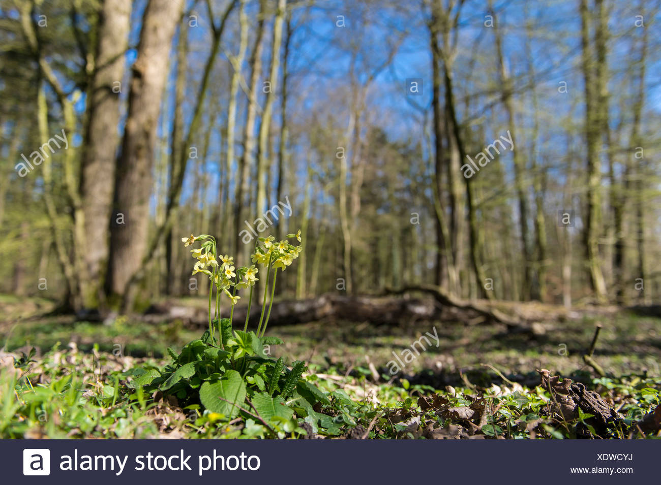 cowslip, primula veris, beech forest, herrenholz, goldenstedt, vechta district, niedersachsen, germany Stock Photo