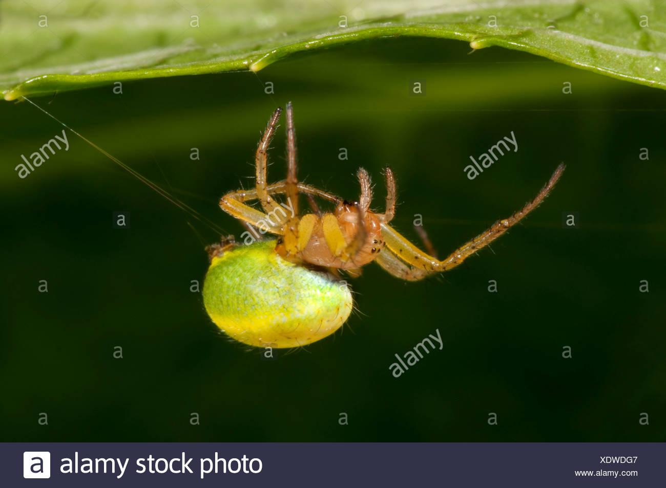Cucumber or Green Orb Weaver Spider Araniella cucurbitina spinning web under leaf in garden bright green abdomen - Stock Image