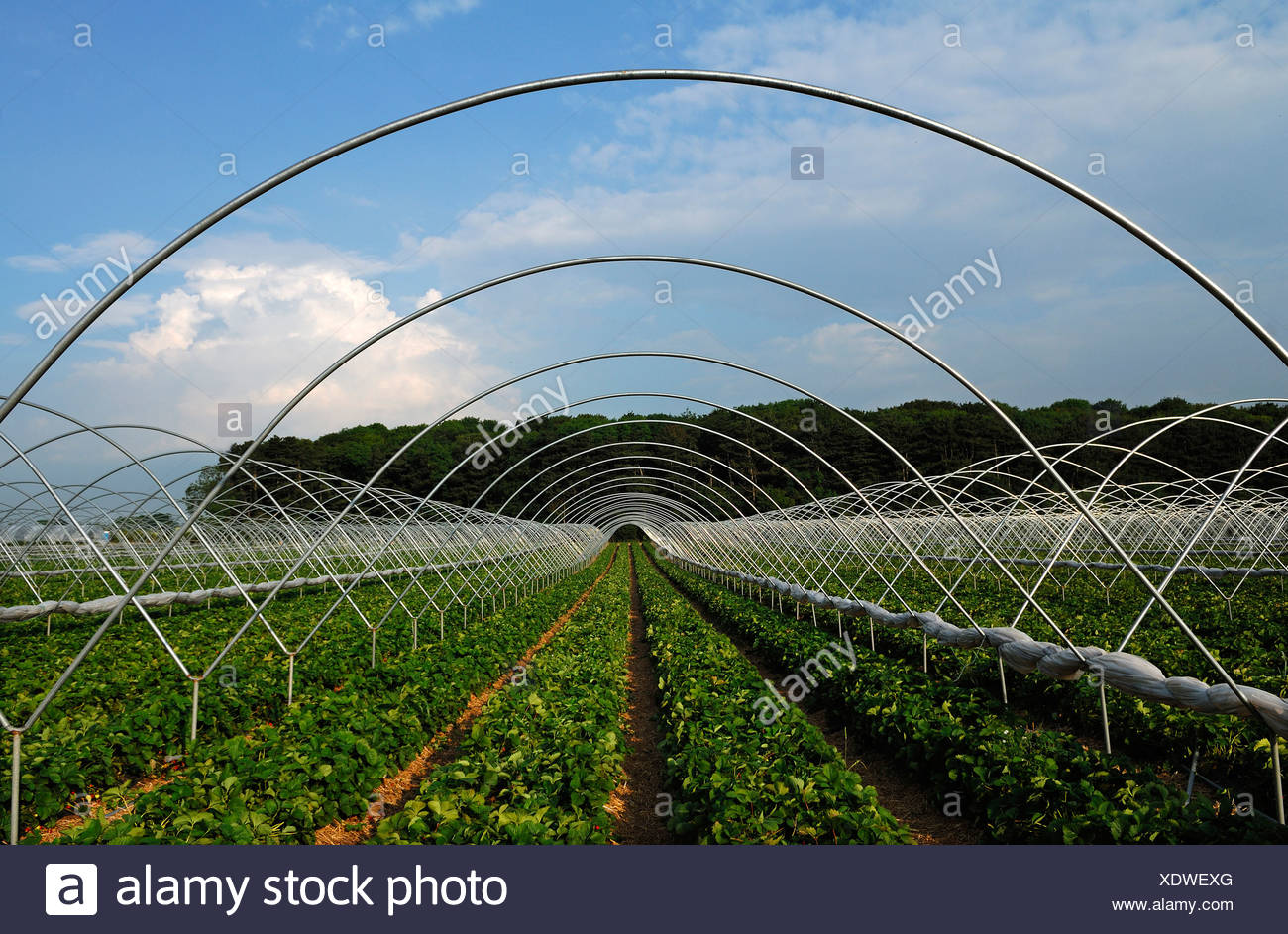Strawberry plantations with tent poles, Chilcote, South Derbyshire ...