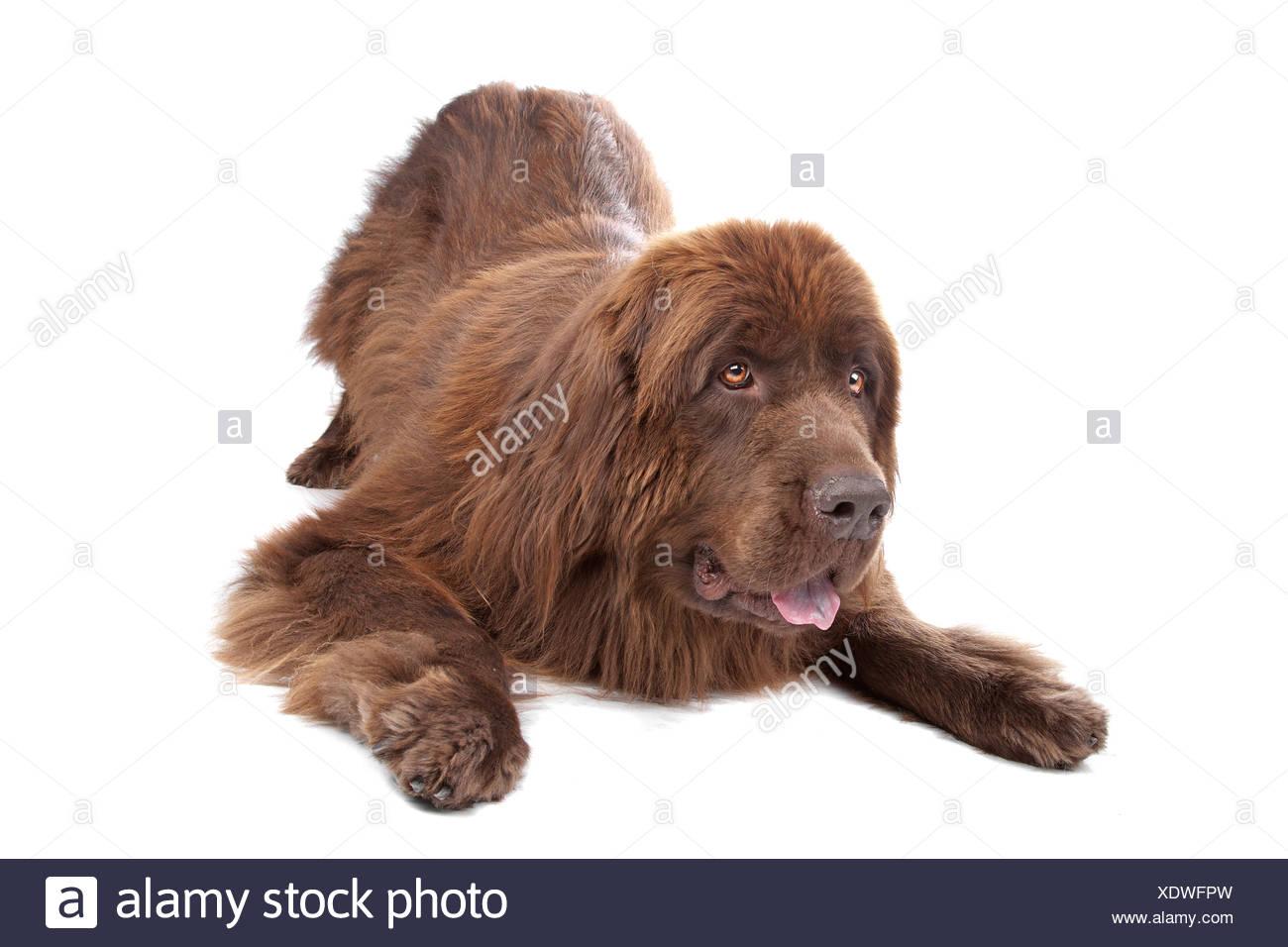 Brown Newfoundland dog isolated on white - Stock Image