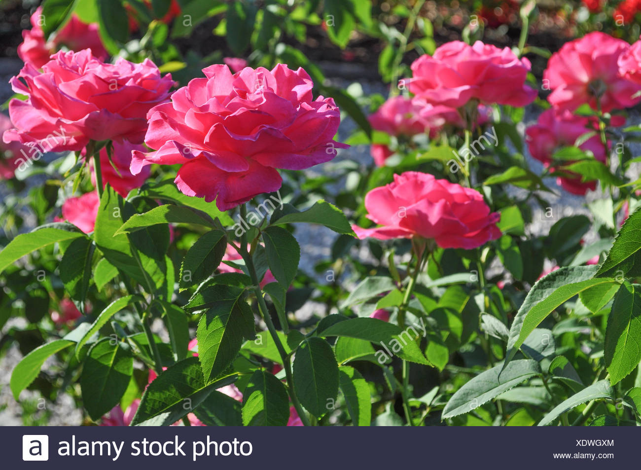 Rose Perennial Flower Shrub Vine Stock Photos Rose Perennial