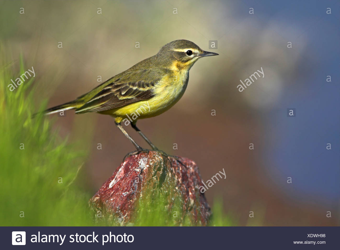 Blue-headed Wagtail, Yellow Wagtail (Motacilla flava flava), sitting on a stone, Greece, Lesbos - Stock Image