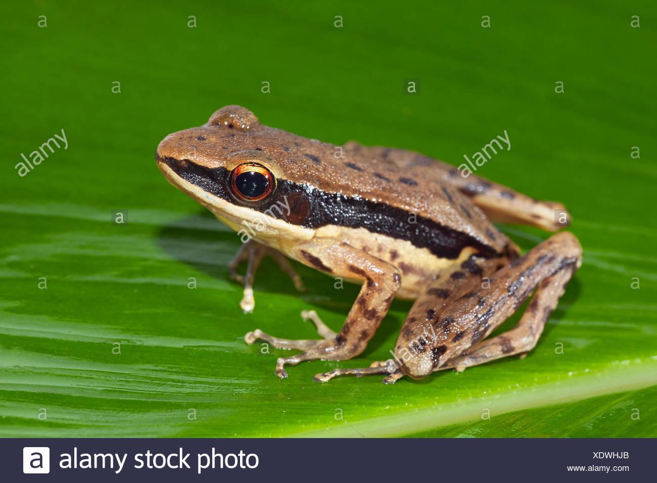 dark-sides frog on green leaf - Stock Image