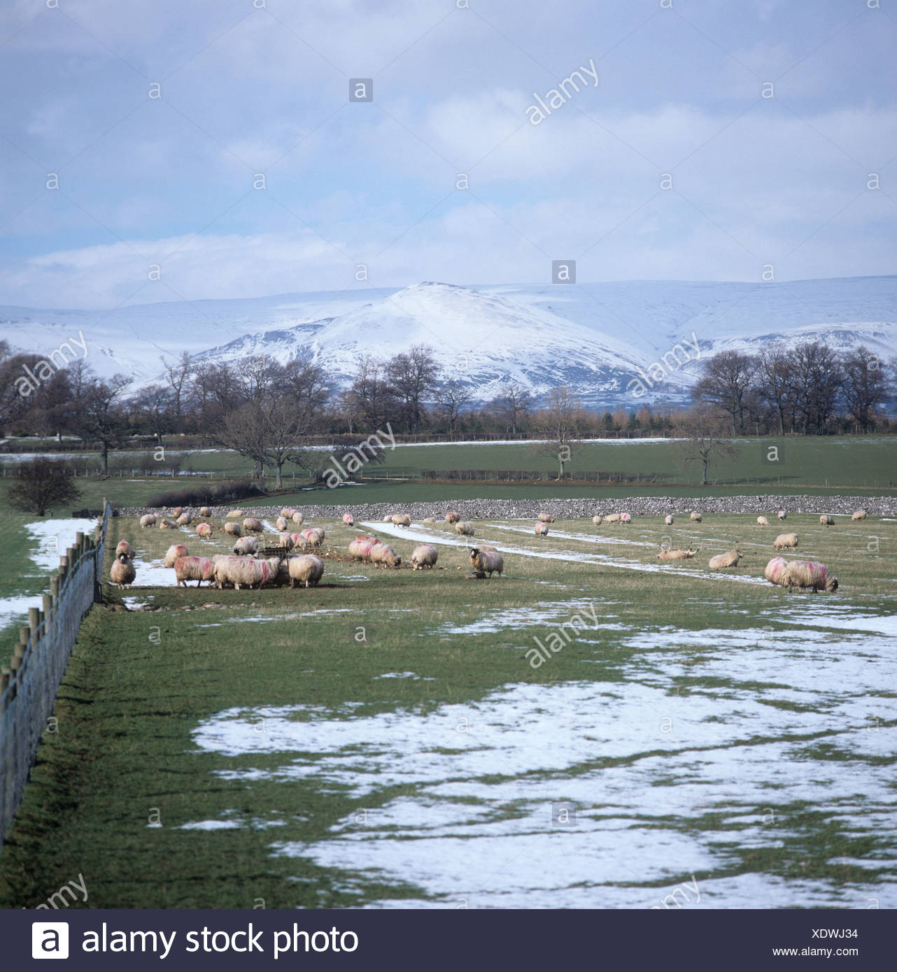 Rough fell ewes north country mules sheep grazing in snow Westmorland landscape in winter - Stock Image