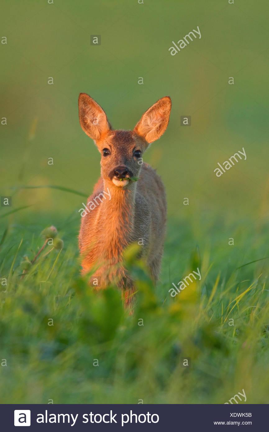 roe deer (Capreolus capreolus), fawn in a damp meadow at sunrise, Germany, North Rhine-Westphalia - Stock Image