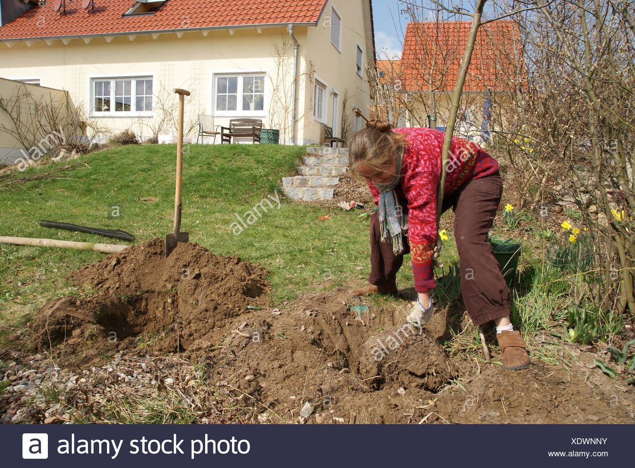 Planting a tree with root bale - Stock Image