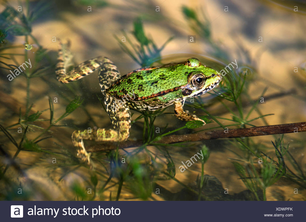 Edible Frog (Pelophylax esculentus) in water, Switzerland - Stock Image
