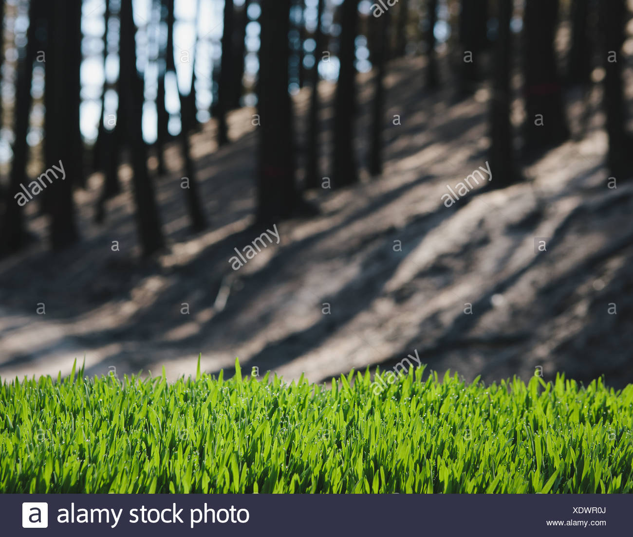 Washington state USA green grass in foreground recently burned forest - Stock Image