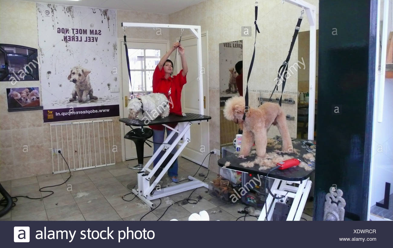 poodle and terrier getting shorn in a dog parlor, Netherlands - Stock Image