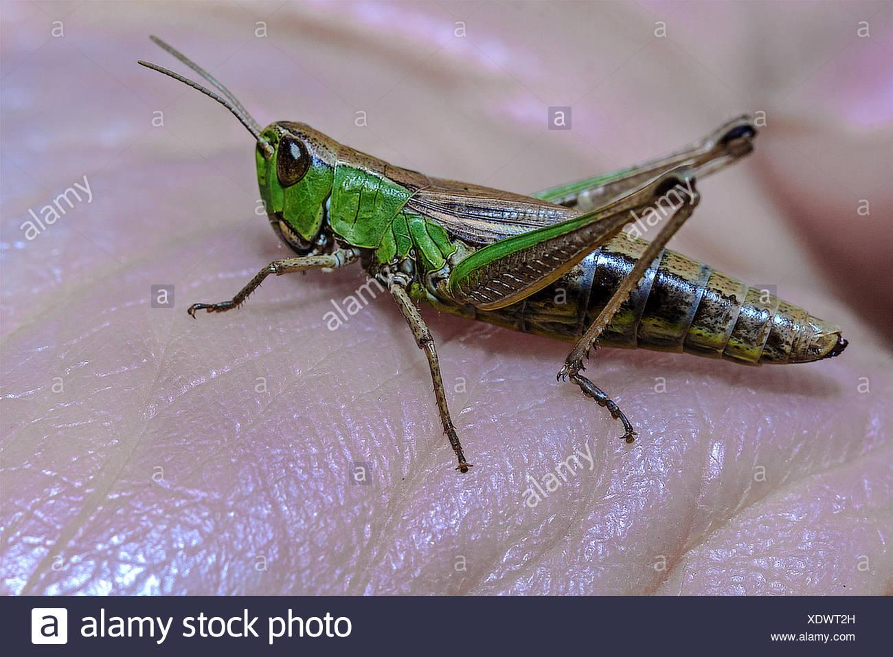 Green Grasshopper (Omocestus viridulus) On A hand - Stock Image