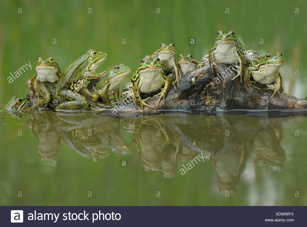 A group of edible frogs (Rana esculenta) with reflection in a pool - Stock Image