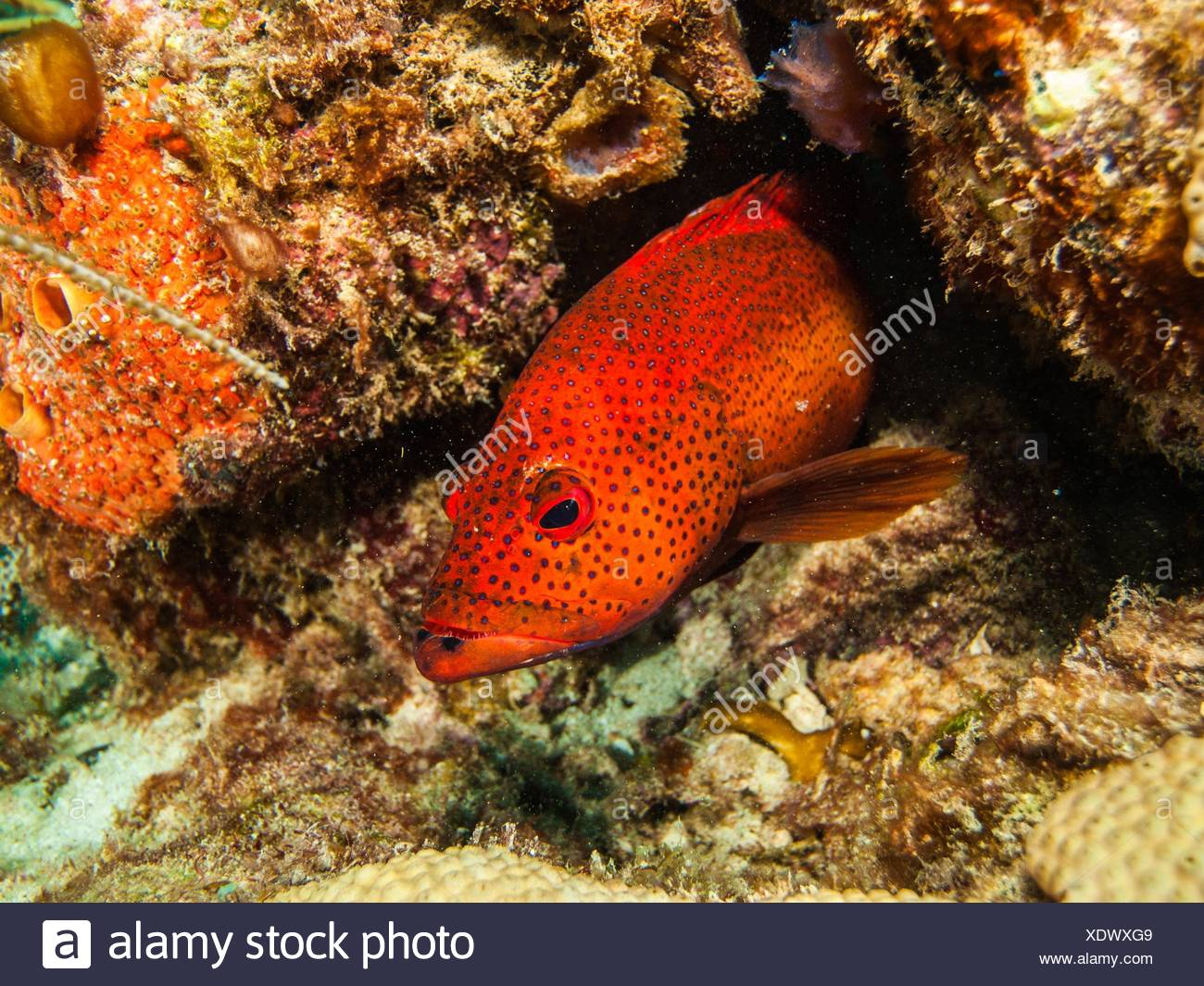 Coney Fish Cephalopholis Fulva Stock Photos & Coney Fish ...