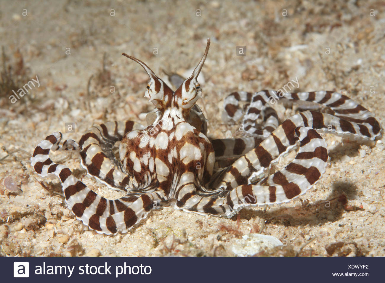 Mimicry Octopus (Thaumoctopus mimicus), Sabang beach, Puerto Galera, Mindoro, Philippines - Stock Image