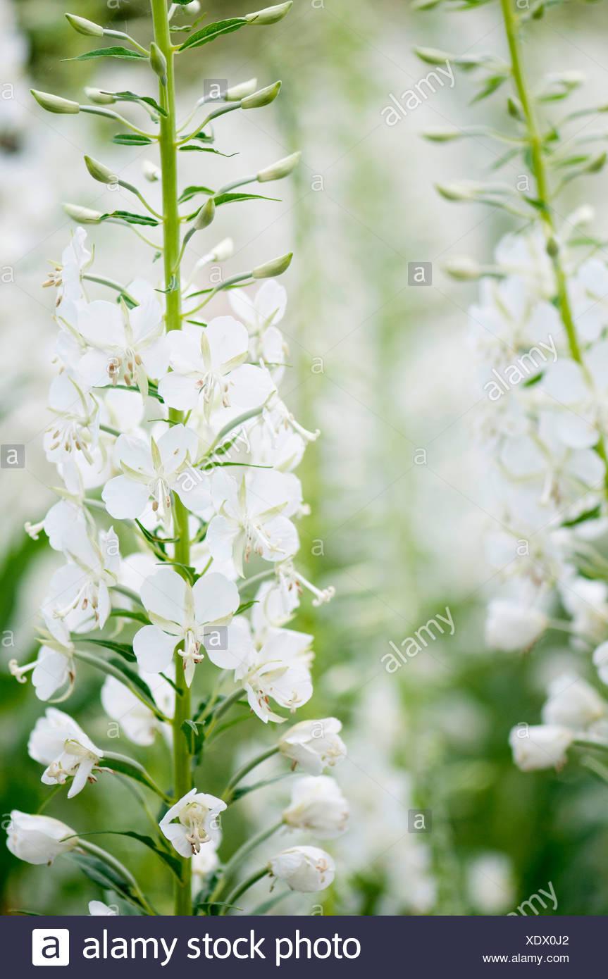 White-flowered rosebay willowherb, Chamaenerion angustifolium 'Album'. Stock Photo