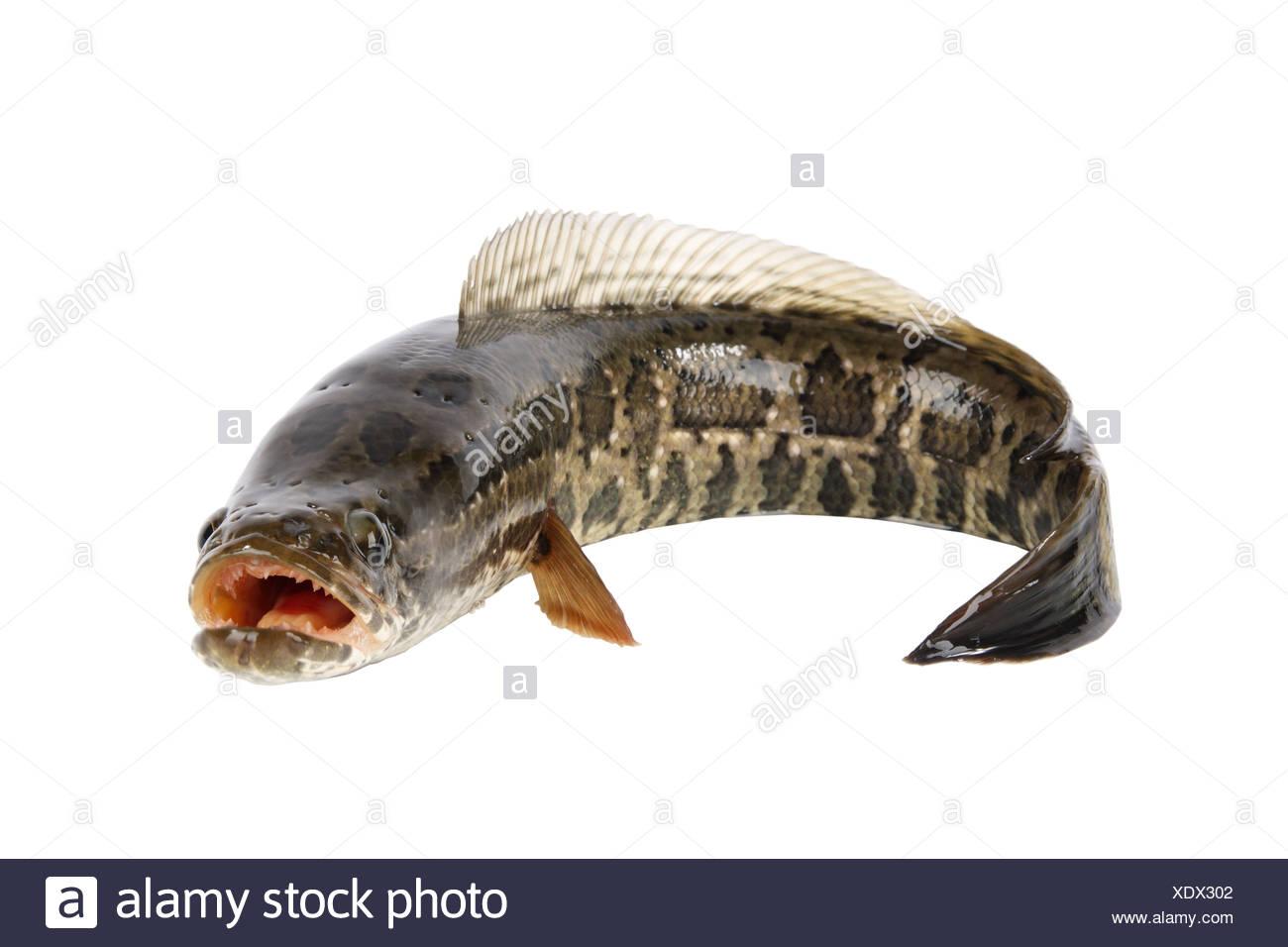 ferocious snakehead Stock Photo