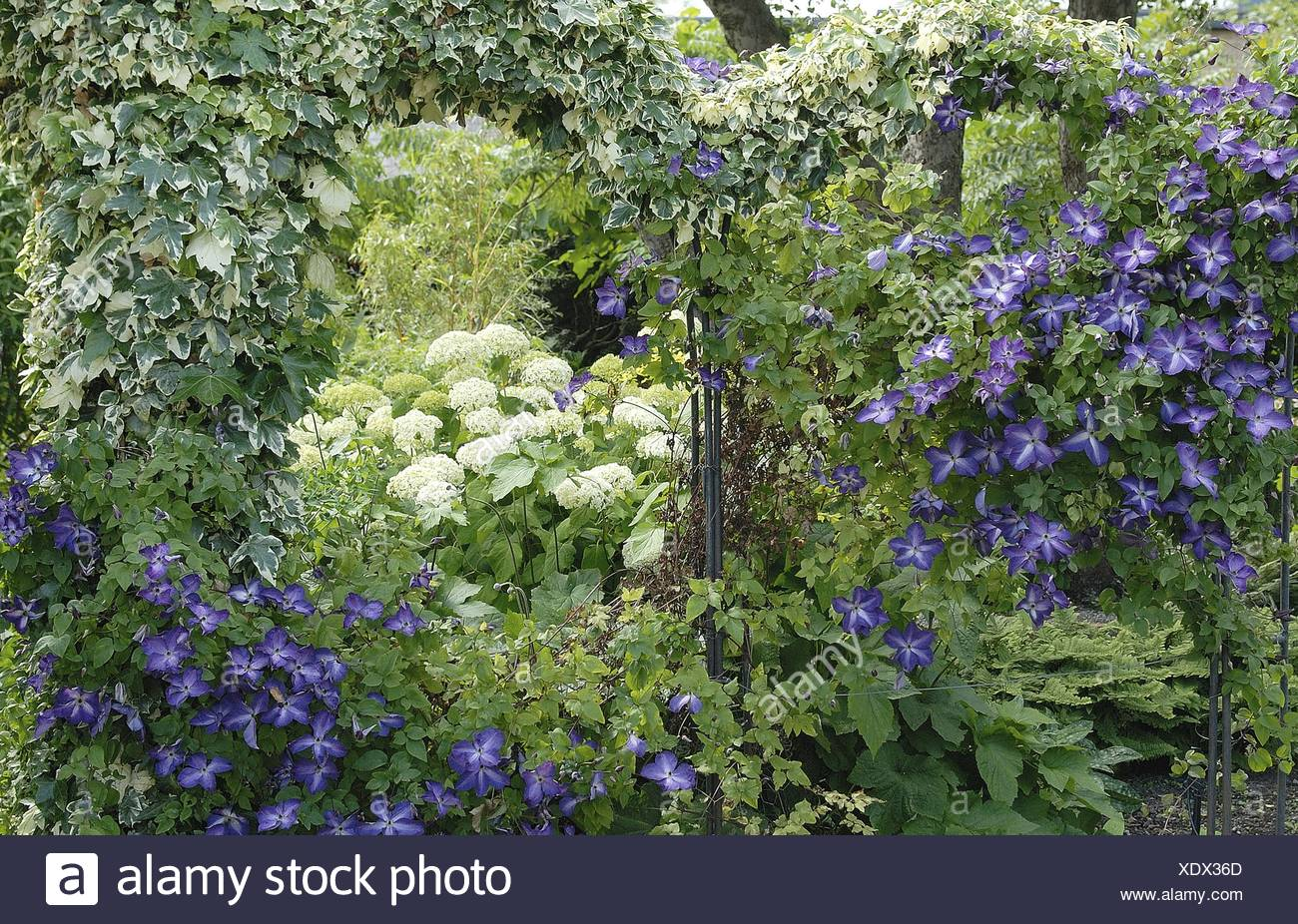 English ivy, common ivy (Hedera helix 'Glacier', Hedera helix Glacier), with Clematis and hydrangea - Stock Image
