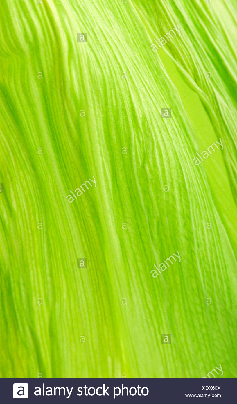 Maize or Corn leaf - Stock Image