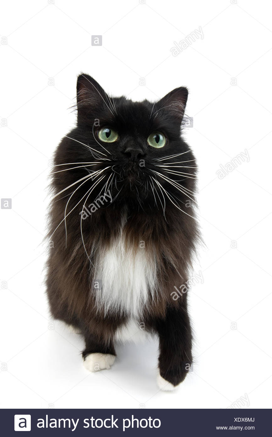 Black and White Siberian Domestic Cat, Female - Stock Image