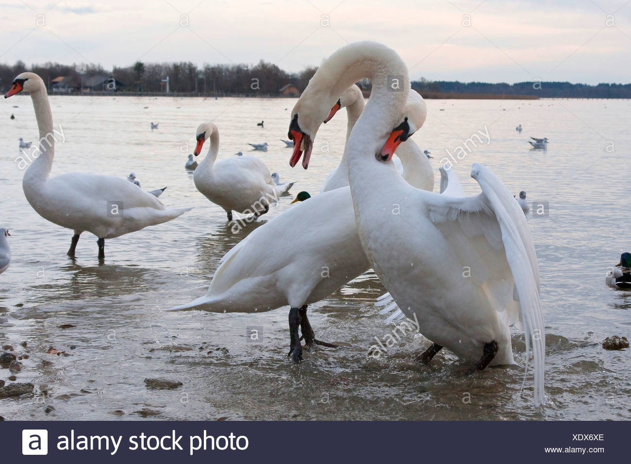 mute swan (Cygnus olor), two males fighting in shallow water, Germany, Bavaria, Chiemsee Stock Photo