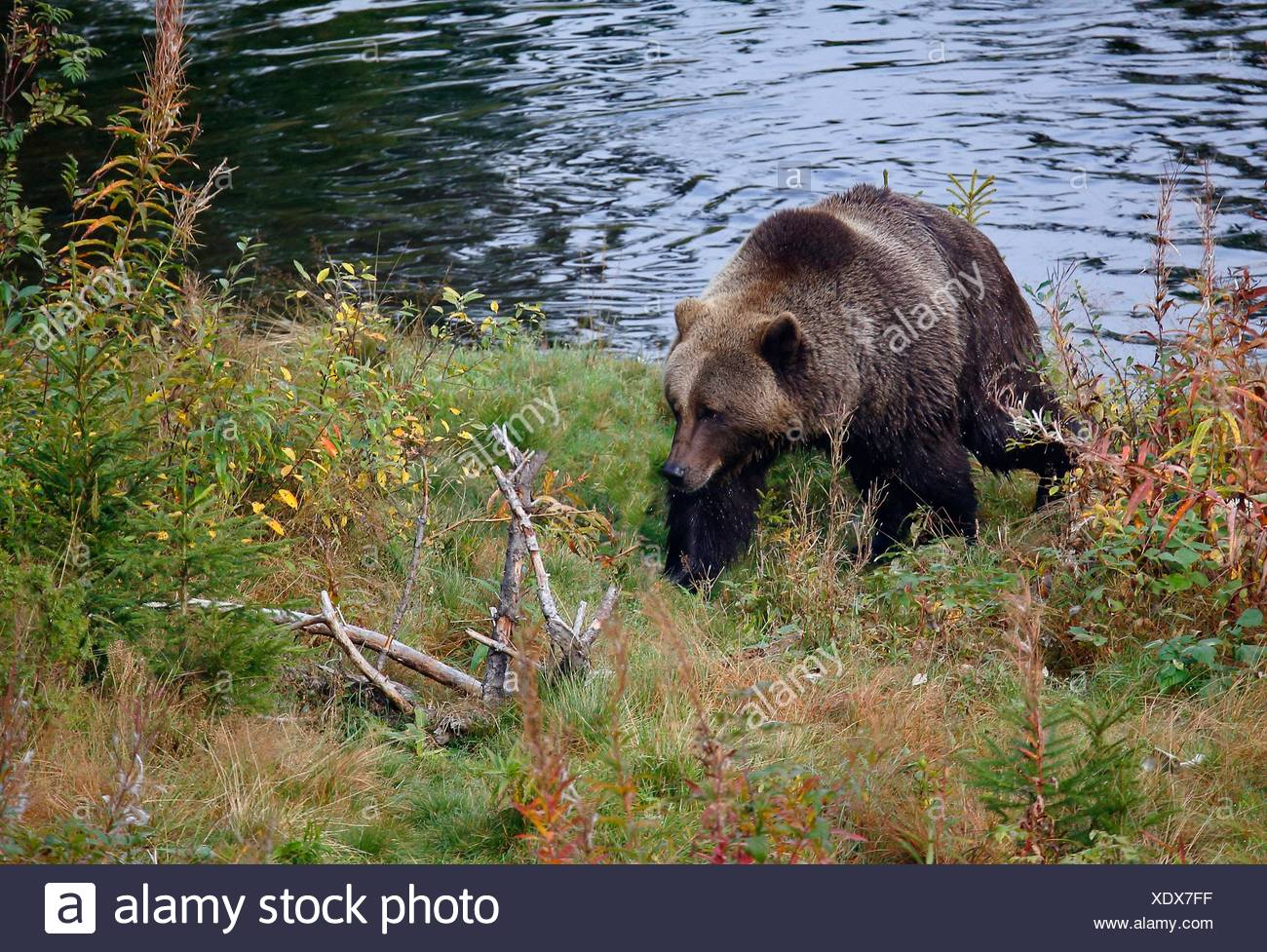 Brown bear Ursus arctos Dalarna Sweden - Stock Image