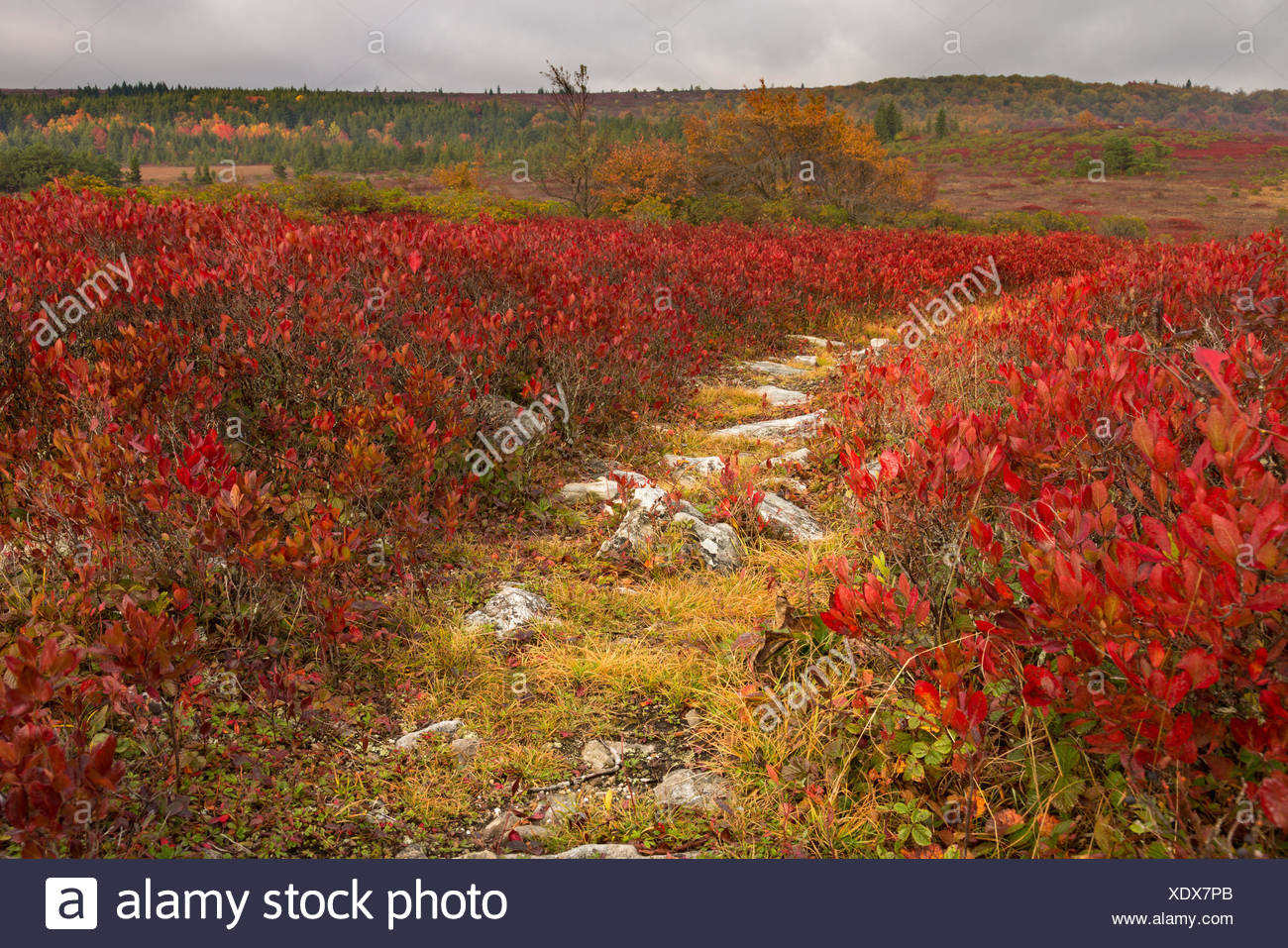 Rocky pathway through red leaves Dolly Sods - Stock Image