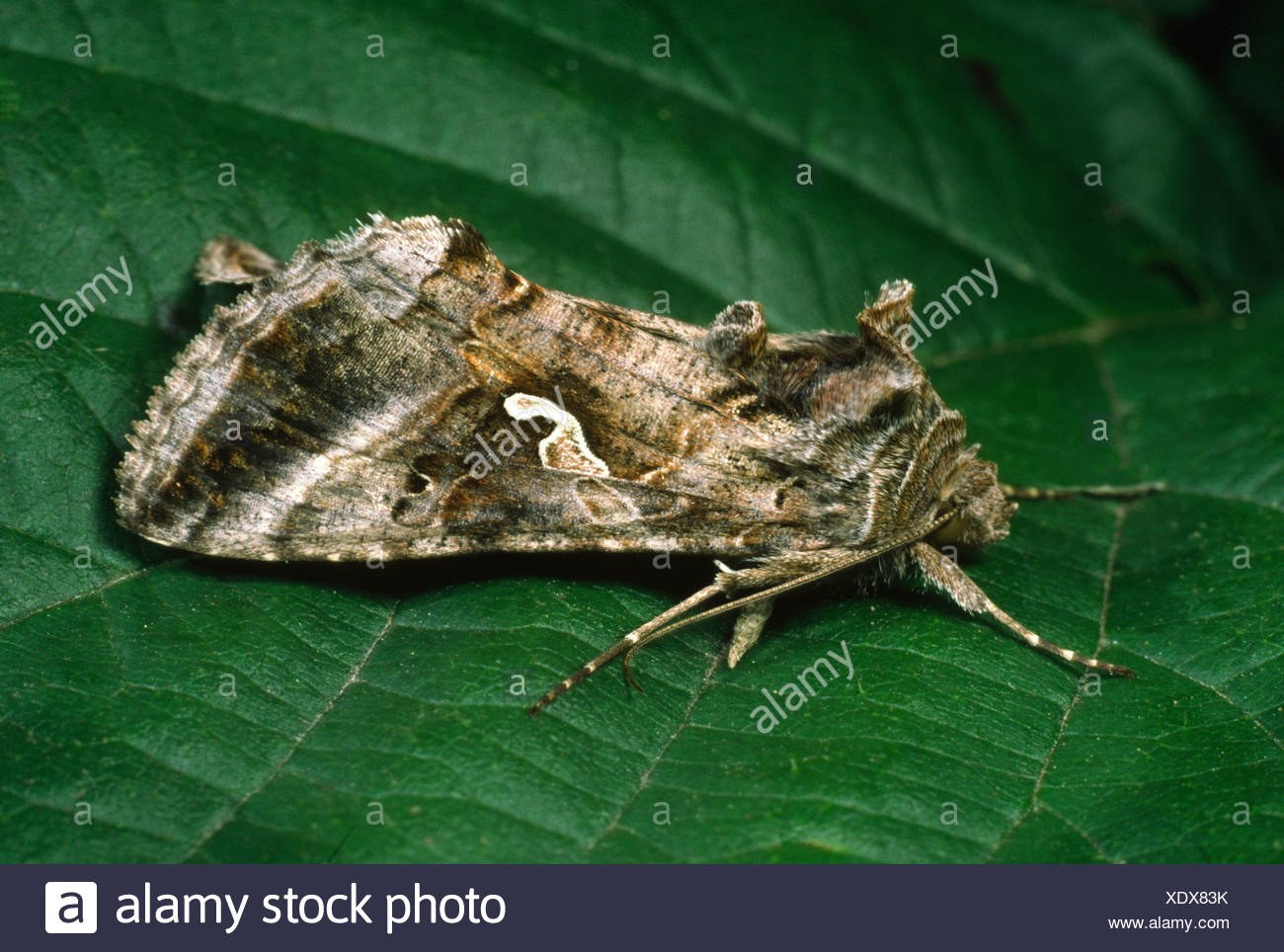 silver y moth (Autographa gamma), resting wings folded Stock