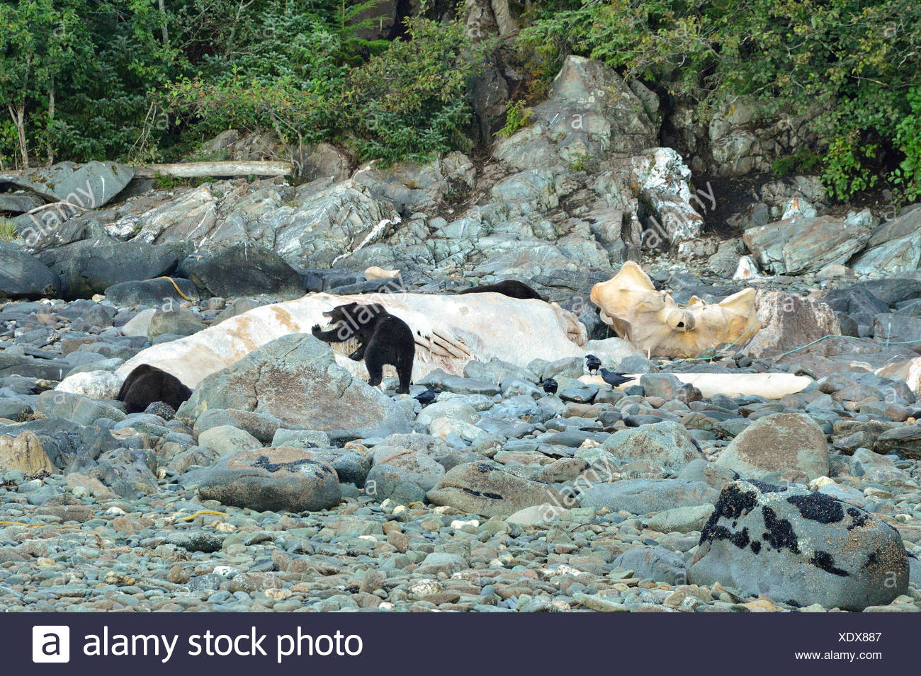 Grizzly bears consume the carcass of a dead beached humpback whale on a rocky shoreline in southeast Alaska. - Stock Image
