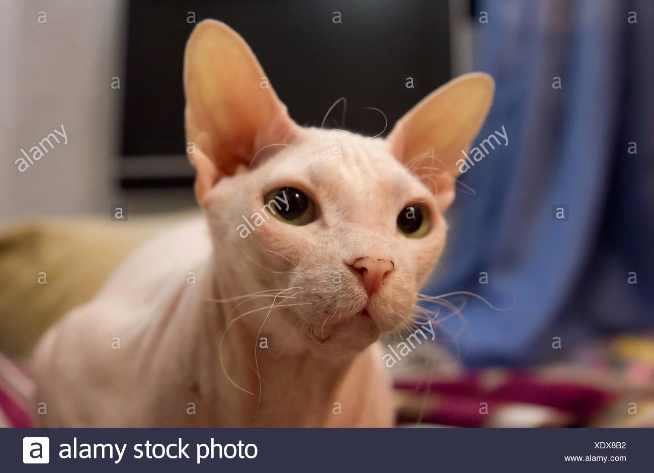 Portrait Of Sphinx Hairless Cat - Stock Image