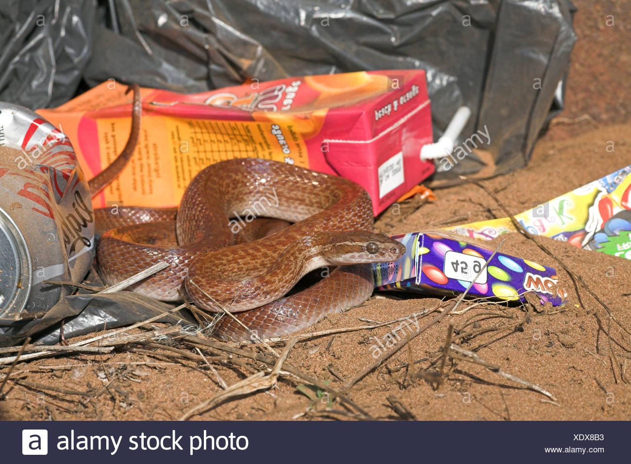 Photo of a brown house snake between colourful garbage, brown house snakes often live around humans as they hunt for mice and rats that are attracted by them. - Stock Image