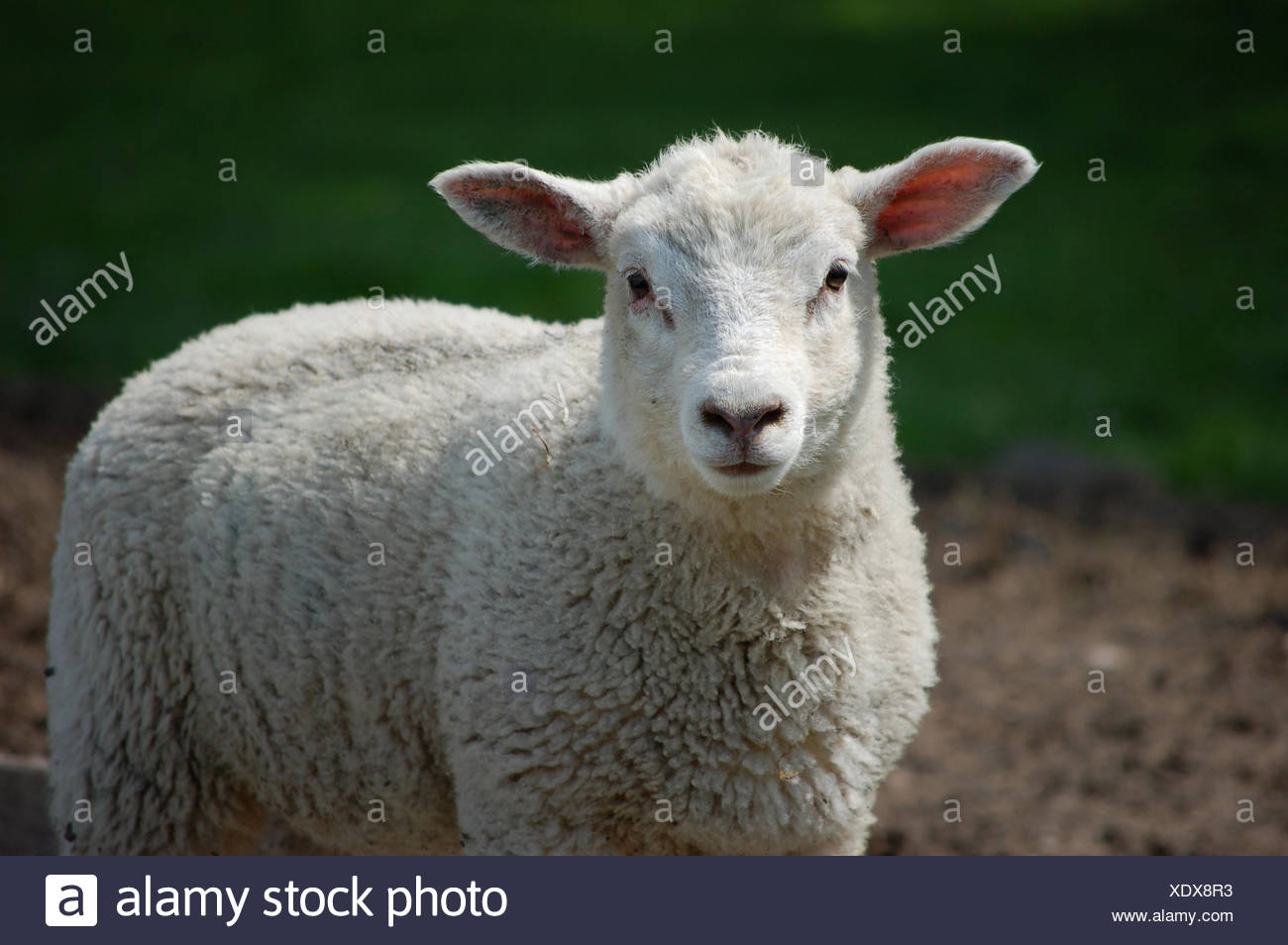 sweet animal agriculture farming field sheep wool easter spring bouncing bounces hop skipping frisks jumping jump ears wise - Stock Image
