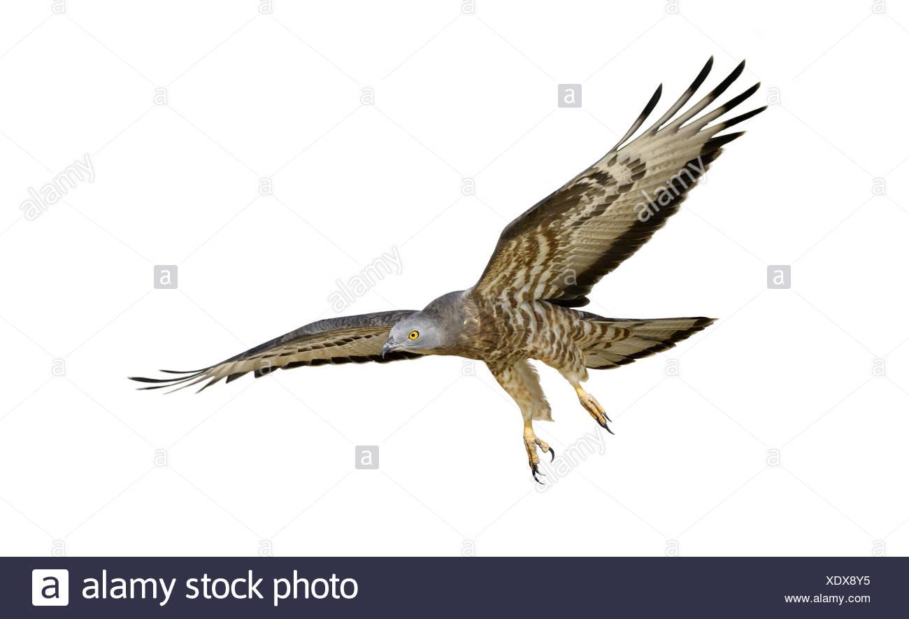 Honey-buzzard - Pernis apivorus - Stock Image