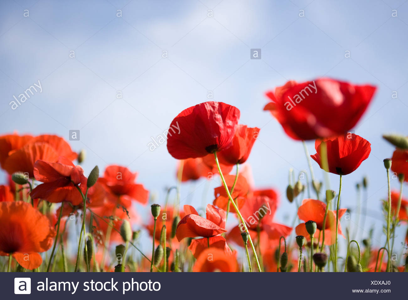 Red poppies against blue sky - Stock Image