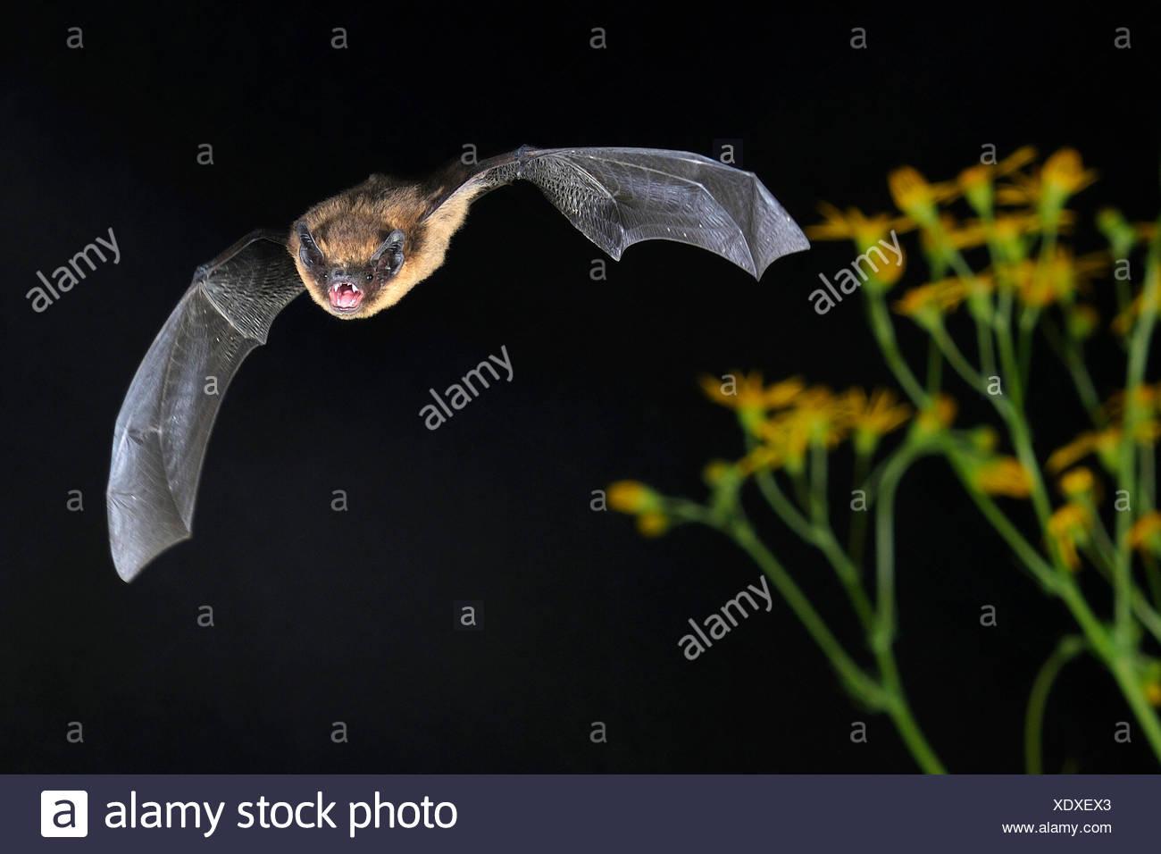 Zwergfledermaus im Flug, Sennestadt, NRW, Deutschland - Stock Image