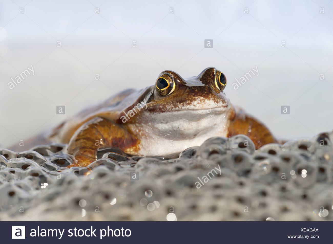 Common frog sitting on spawn, Rana temporaria, Germany, Europe - Stock Image