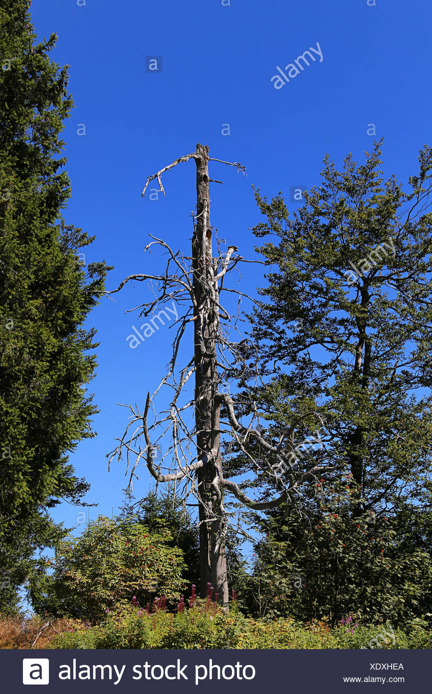 dead tree on the schauinsland - Stock Image